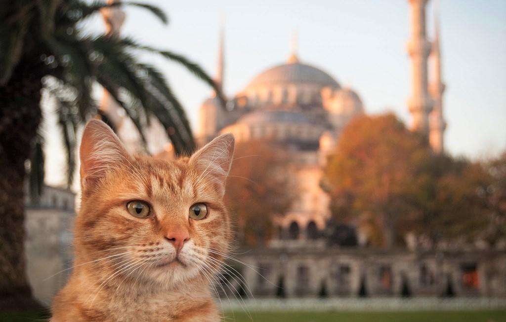 قطط إسطنبول